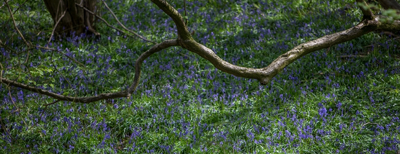 Bluebell slope