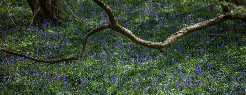 Bluebell slope